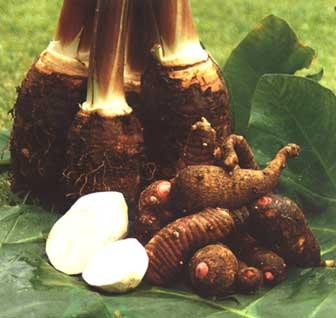 Samoa Food: Taro |Samoan Taro
