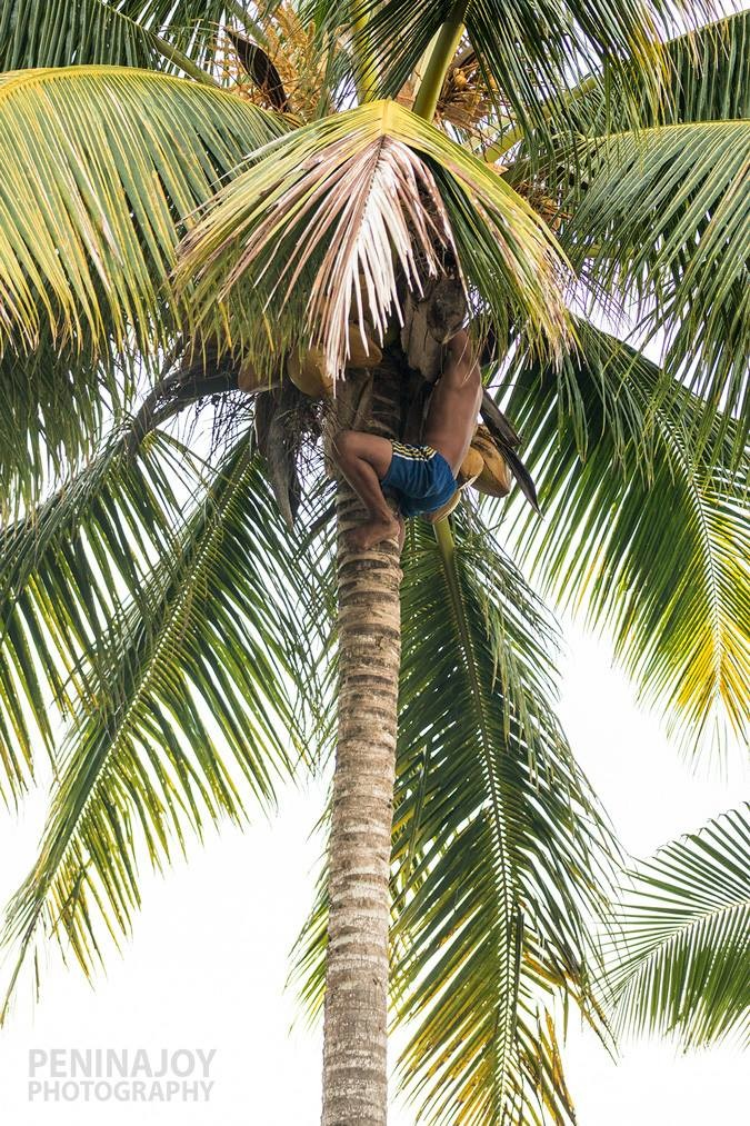 Boy climbing up to get niu in Savai'i