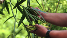 Island Business Stories: Niue Vanilla Farming