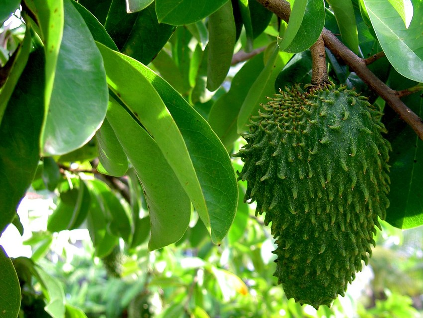 Health Benefits Of Sasalapa Aka Soursop Or Graviola Coconet