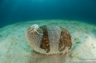 Sea Cucumbers are in sharp decline
