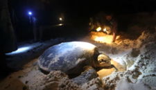 From Sand to Sea and back - Solomon Islands Sea Turtles